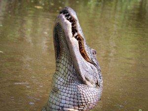 green-valley-gator