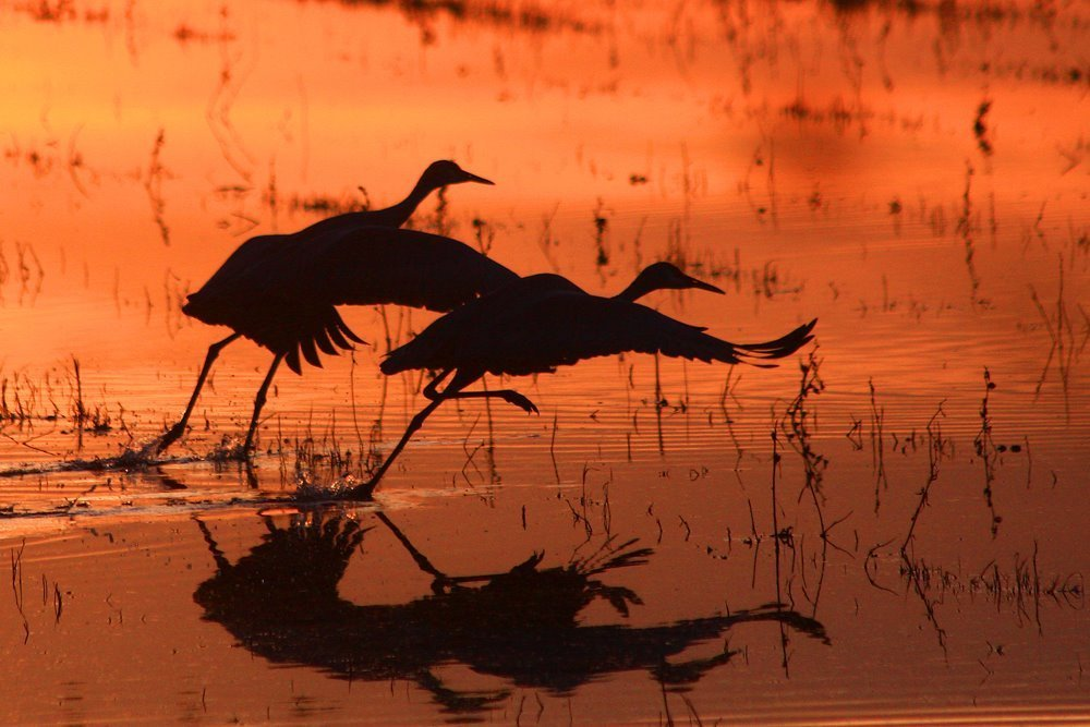 sandhill crane festival