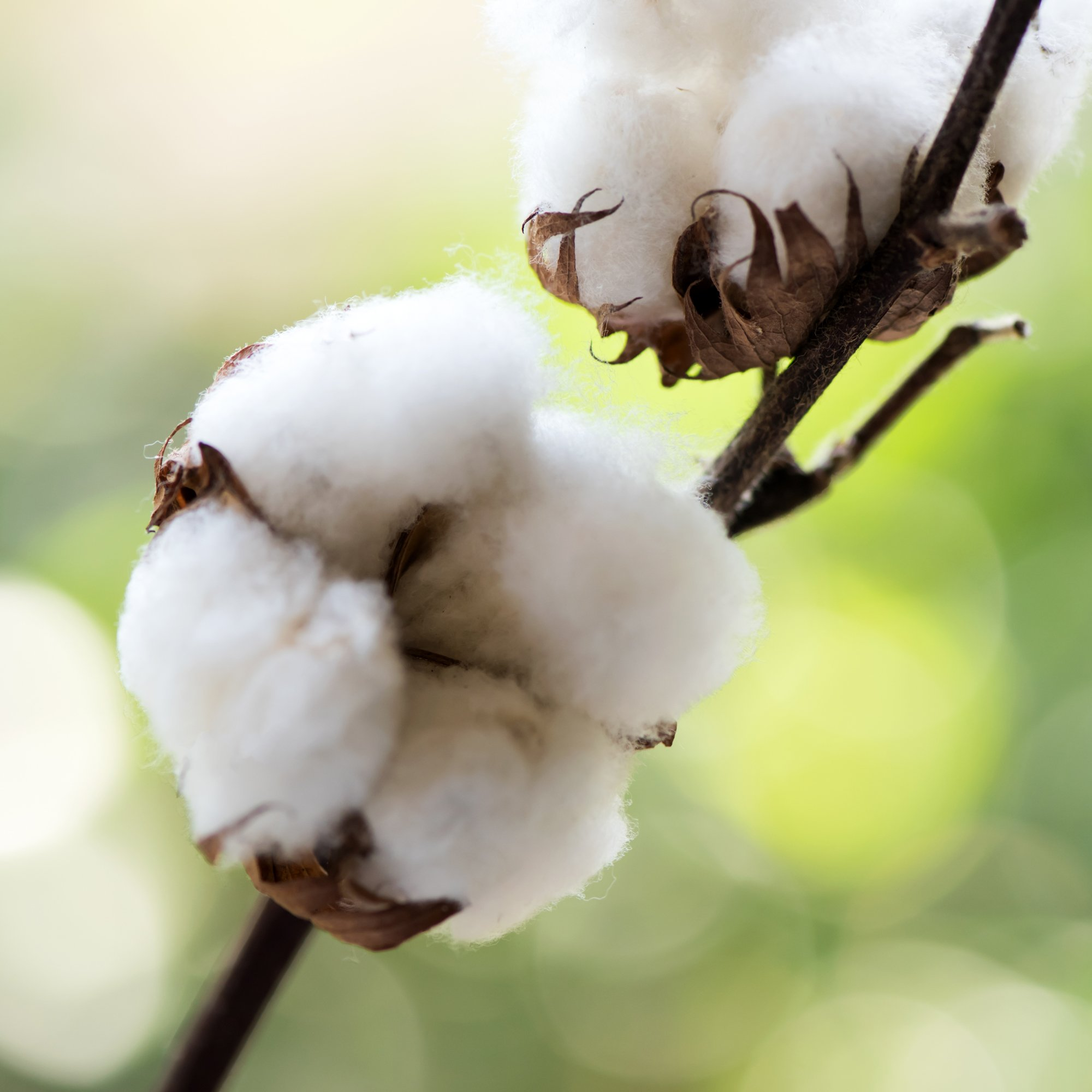 Cotton Seed Extract - Peter Thomas Roth Skin Care Ingredient Glossary