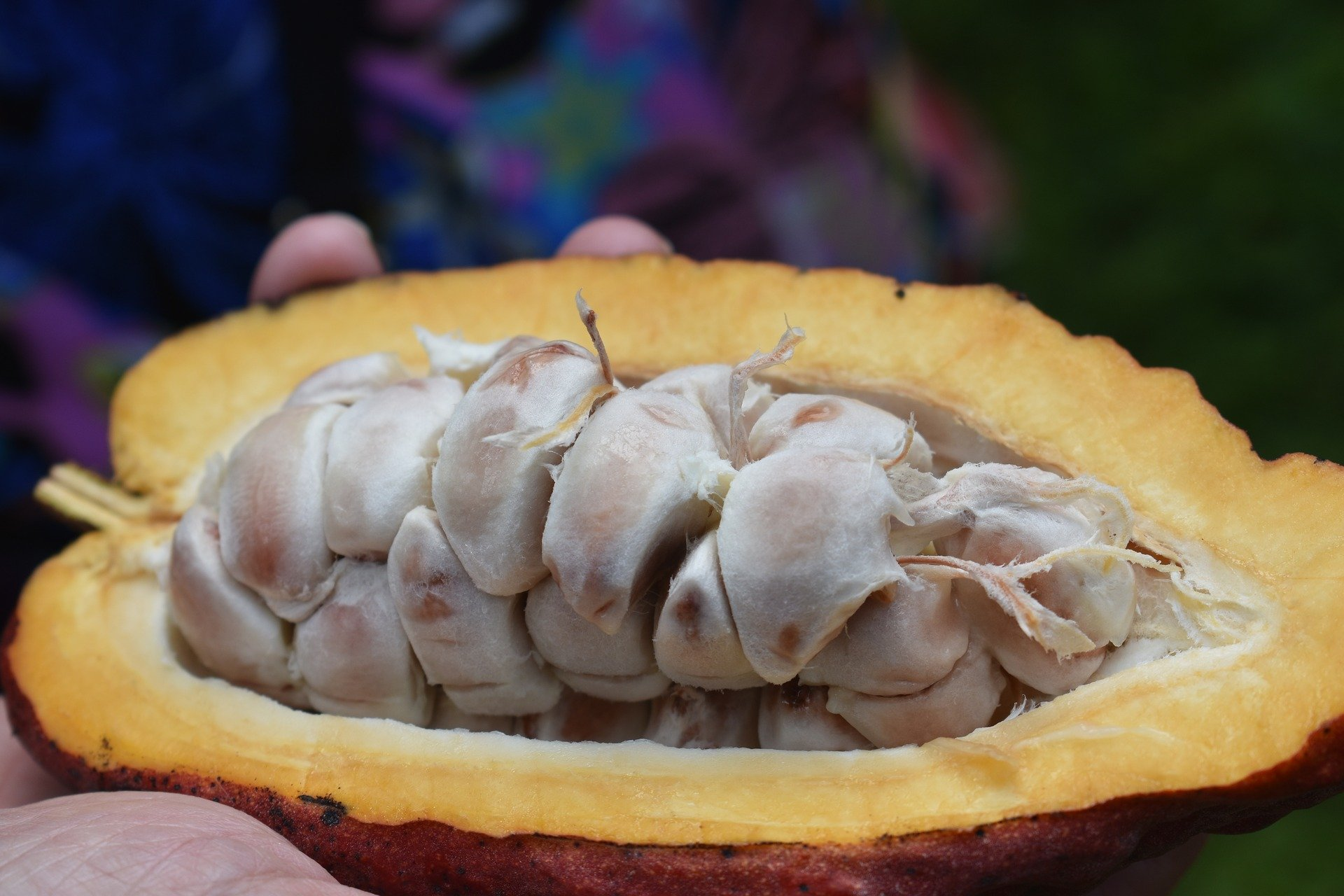 what is chocolate made of? cocoa pod with seeds and cocoa
